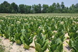 800px-Tabacco_Field