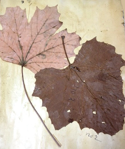 Leaves from the Antietam Battlefield