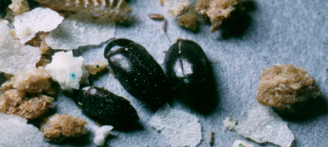 Black Carpet Beetle, Louis Sorkin